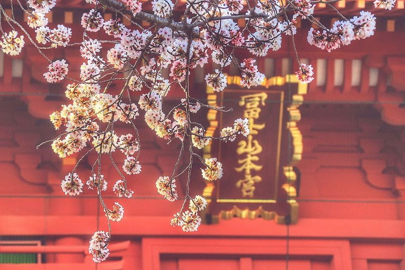 夕暮れ時の浅間大社。 Cherry Blossom 桜 あなたと見隊 あなたを想う 富士宮浅間大社