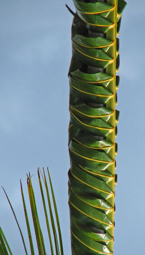 Rarotonga, French Polynesia Beauty In Nature Clear Sky Close-up Day Green Color Growth Low Angle View Nature No People Outdoors Platted Stem Sky Tranquility Vegetation Perspectives On Nature