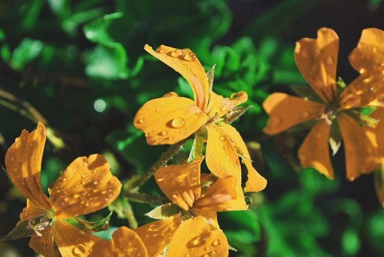 Close-up of wet yellow flowers blooming outdoors