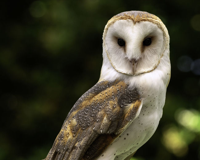 Owl Bird Photography Zoo Animal Animal Body Part Animal Head  Animal Themes Animal Wildlife Barn Owl Bird Bird Of Prey Birds Close-up Day Eyes Focus On Foreground Looking Nature No People One Animal Outdoors Owl Perching Tree Vertebrate Zoo Animals