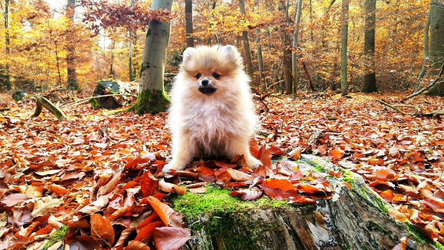 Cute Pomeranian In Forest During Autumn