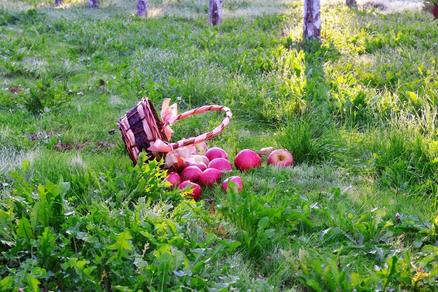 morning apples Agriculture Apple Orchard Autumn colors Freshness Grass Green Morning Morning Light October Apple Tree Basket Fall Fresh Apple Harvesting Landscape Ripe Apple Wooden Basket