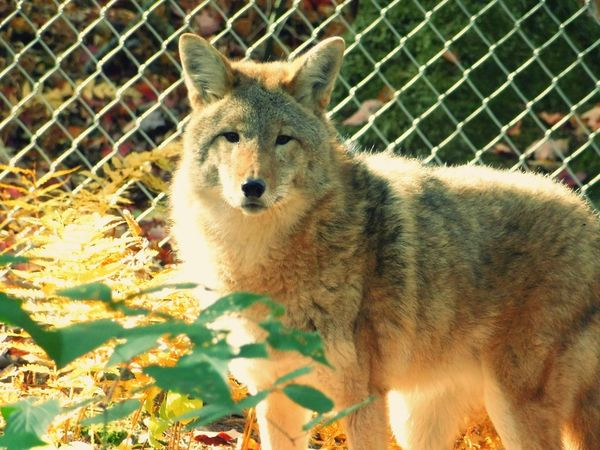 Sad face of a coyote held in captivity:( this coyote was injured and can never survive in the wild. Coyote Captivity Of A Wild Best