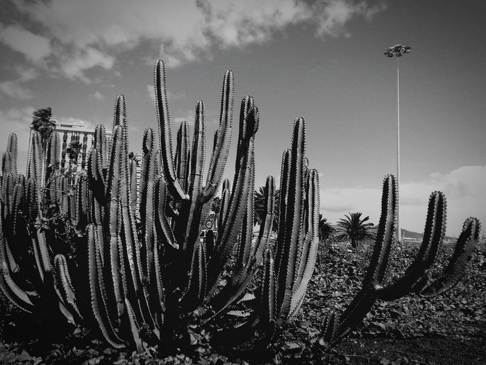 City Palma Latarnia Budynek Kaktusy Zielen Zieleniec Panorama La Vista Atmosphere Verde Panoramicas Blackandwhite Sky Cloud - Sky Cactus Palm Tree Growth Plant Life Growing