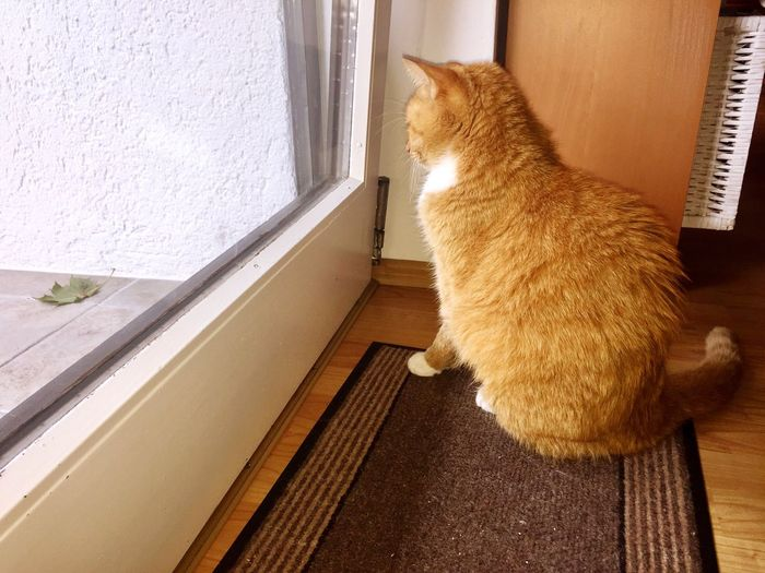 The Week On EyeEm Cat Collection Ginger Cat Cat Looks Out The Window Leaf 🍂 For Cat Friends! Cat Portrait British Kurzhaar Pet Photography  Pet Portraits My Cat ❤ My Cat😺🐈 My Cat Diaries My Cat :)