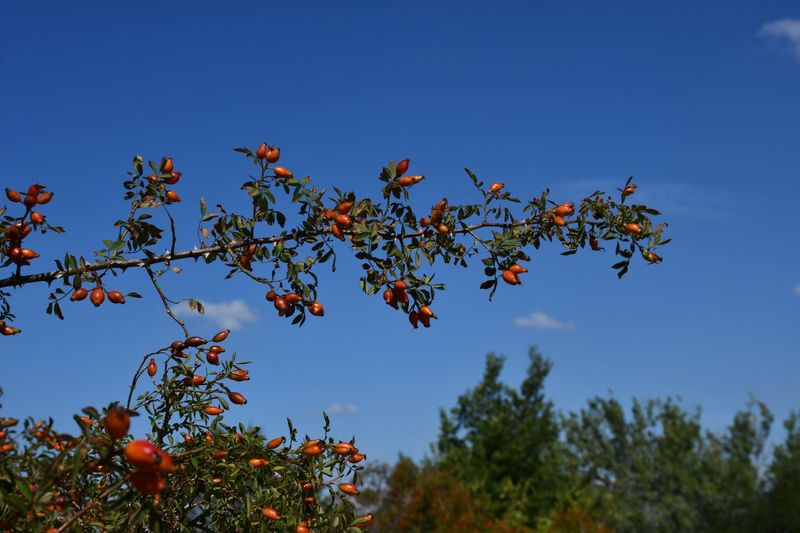 Sweet Briar Rose Rose Hips Sky Tree Growth Plant Low Angle View Nature Blue Branch Clear Sky Day Leaf Freshness No People Beauty In Nature