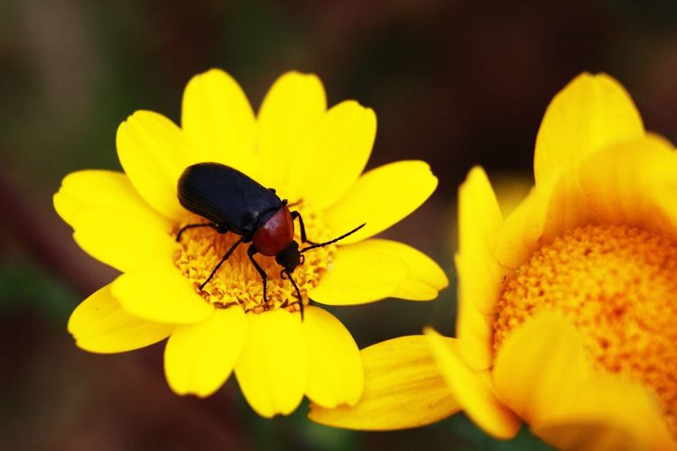 Bug Flower Flowering Plant Insect Yellow Invertebrate Petal Beauty In Nature Flower Head Animal Wildlife Plant Animal Themes Freshness Close-up Vulnerability  Inflorescence Fragility Animals In The Wild One Animal Animal Growth
