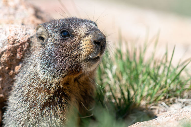 Close-up of marmot on field