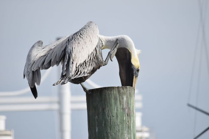 Animal Themes Bird Clear Sky Close-up Day Fence Focus On Foreground Nature No People Outdoors Pelican Birds Pelicans Perching Pole Protection Sky White Color Wildlife Wood Wood - Material Wooden Wooden Post