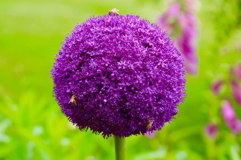 Purple Petals Plant Growth Beauty In Nature green background Focus On Foreground