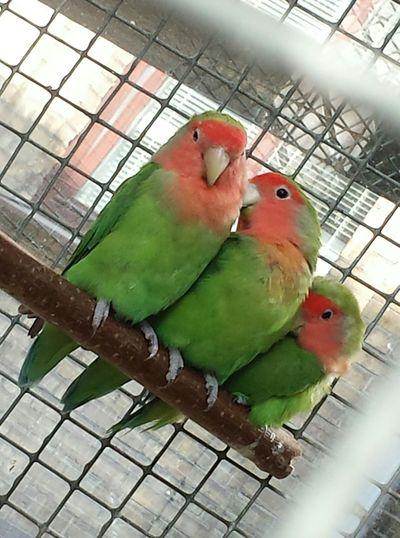 беларусь попугаи Неразлучники птички Брест