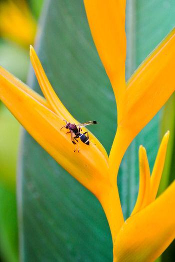 Wasp on yellow  bird of paradise.