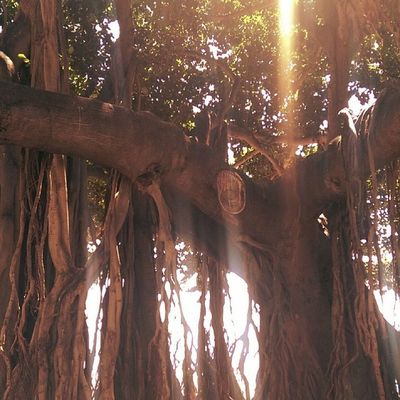 Banyan trees are awesome