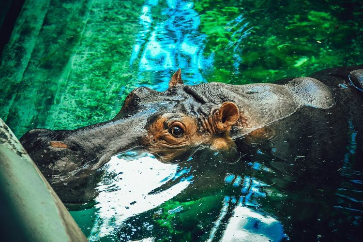 High angle view of turtle swimming in pond at zoo