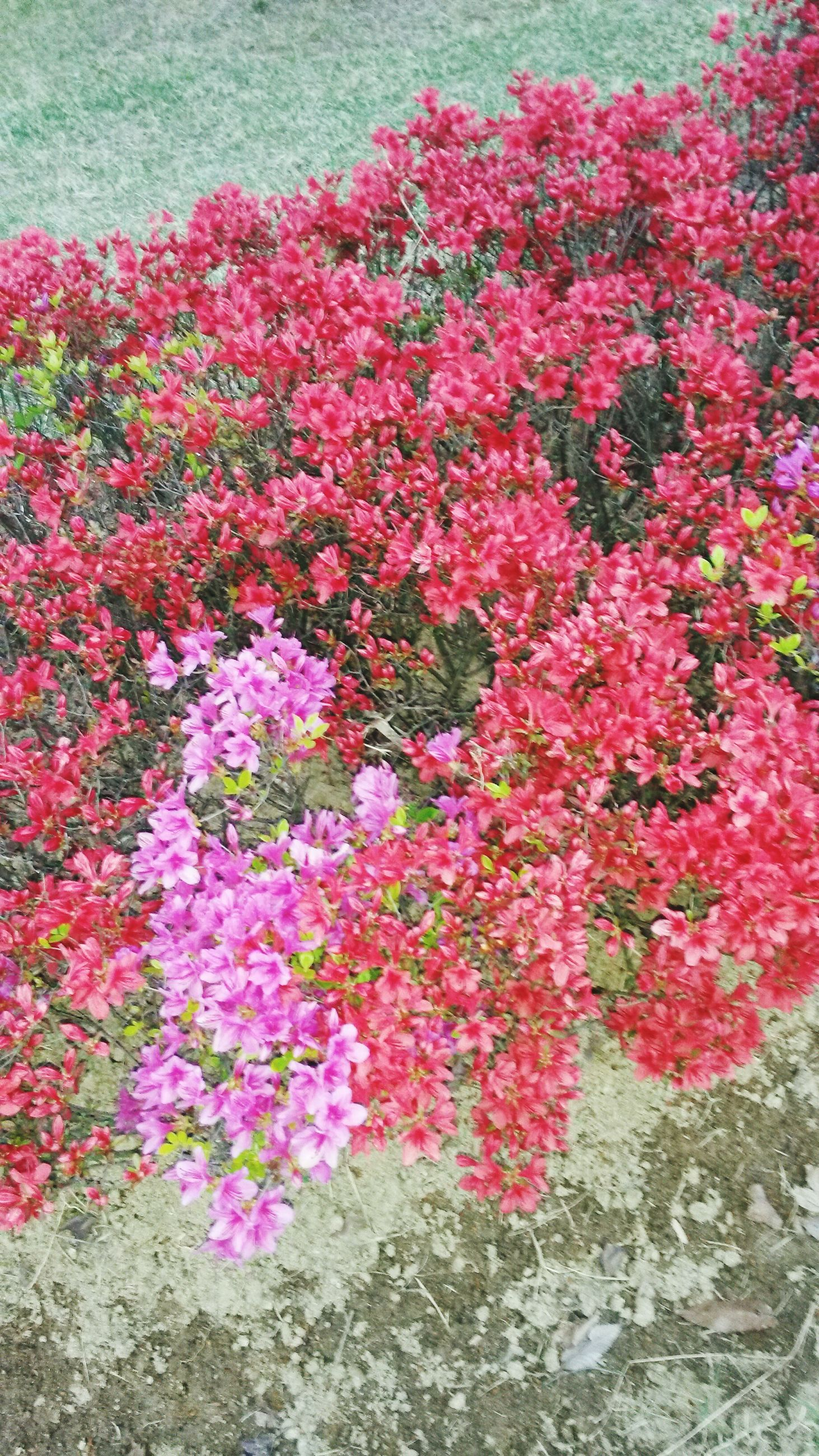 flower, freshness, growth, fragility, beauty in nature, petal, pink color, nature, blooming, plant, red, high angle view, field, flower head, in bloom, day, outdoors, abundance, no people, blossom