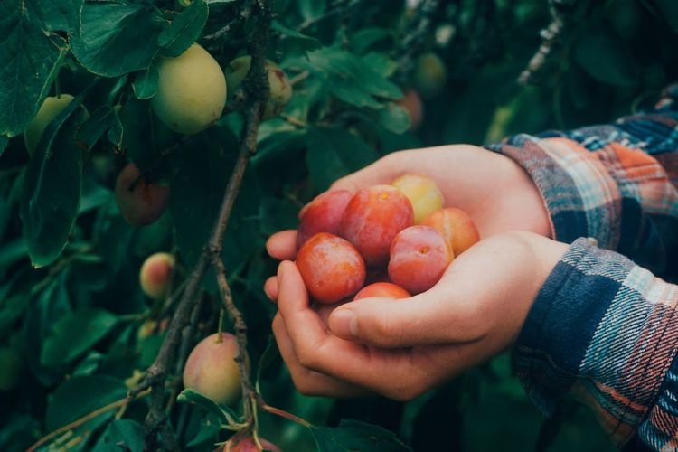 picking organic plums Plum Plums Human Body Part Human Hand Farmer Organic Harvest Harvesting EyeEm Selects Human Hand Tree Rural Scene Farm Worker Fruit Healthy Lifestyle Agriculture Farmer Holding Fruit Tree Juicy Self-sufficiency Sustainable Resources Sustainable Lifestyle