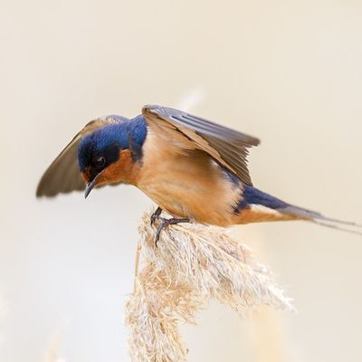 Barn Swallow flapping its wings while landing on marsh grass - Spring 2014 Utah Brbr Bearriverbirdrefuge