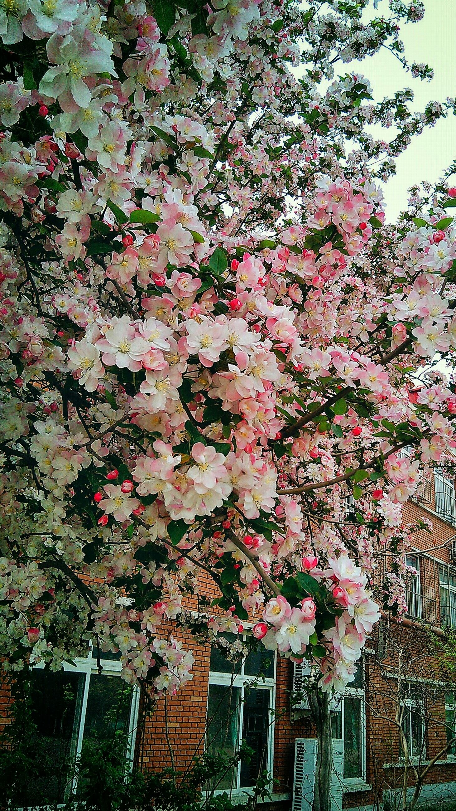 flower, tree, building exterior, growth, branch, architecture, built structure, low angle view, freshness, pink color, nature, fragility, blossom, beauty in nature, day, red, outdoors, no people, in bloom, springtime