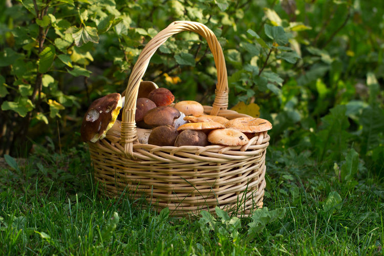 Basket Container Food Food And Drink Plant Healthy Eating Freshness Growth Agriculture Wicker Nature Vegetable No People Grass Day Wellbeing Harvesting Field Fruit Organic Outdoors Natural Condition Forest Plant Nature Mushroom