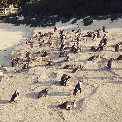 South Africa Penguins SimonsTown Socool Proper Beach EyeEm