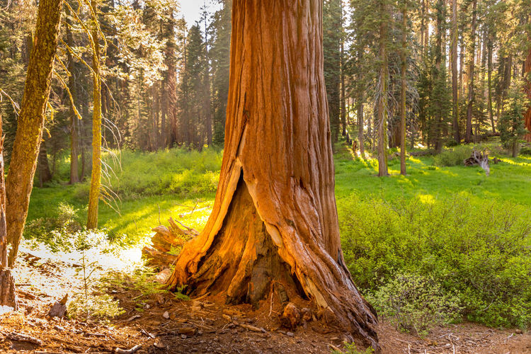 Sequoia National Park, Crescent Meadows Bark California Grass Green Growth Majestic Nature National Park Sequoia Sequoia National Park Tree Trees USA Crescent Meadow Forest Landscape Majestic Meadow No People Outdoors Springtime Trunk