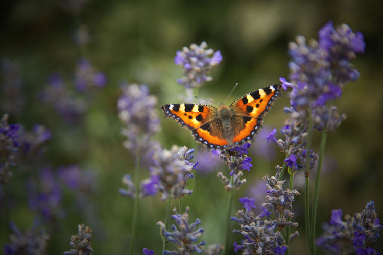 Animal Wing Beauty In Nature Butterfly Close-up Flower Freshness Insect Perple Plant