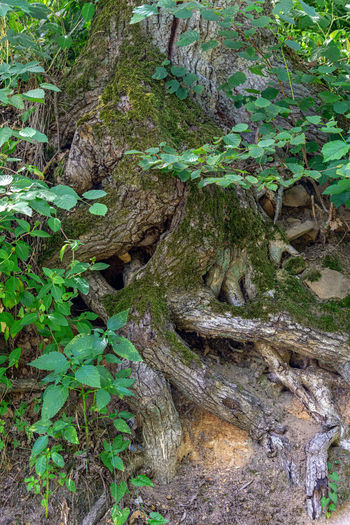 Plant Plant Part Growth Nature Leaf Land Tree No People Day Forest Beauty In Nature Tranquility Green Color Trunk Tree Trunk Moss Outdoors Rock High Angle View Field Bark Alte Baumwurzel