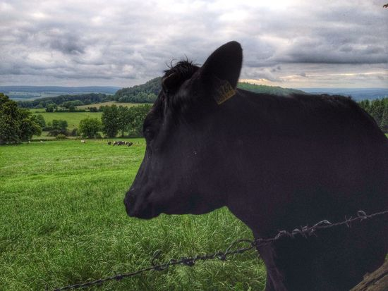 The Cow Taking Photos Hanging Out Nice Views
