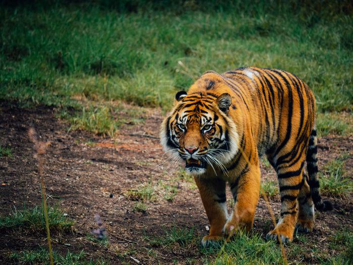 Animal Animal Themes Big Cat Cute Day Feline Grass Mammal Menacing Nature No People One Animal Outdoors S Tiger Walking Zoo