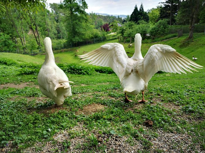 White birds in a field