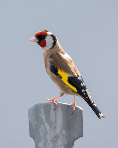 A Goldfinch perched on a fence post in King's Lynn, Norfolk. I love sights like this, the contrast between the beauty and colour of nature and the stark, bland, order of the urban environment. Animals In The Wild Beauty In Nature Bird Close-up Day Dicotomy Goldfinch Nature No People Outdoors Perching Plain Background Urban Wildlife Urbanphotography