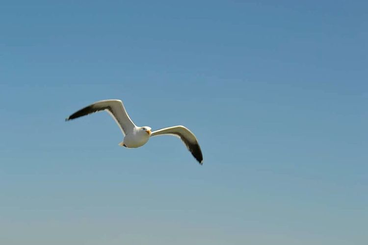 Bird Animal Themes Flying Blue Spread Wings Clear Sky Seagull Nature Zoology Beauty In Nature