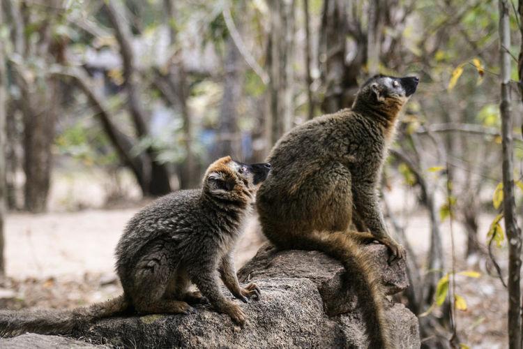Close-up of lemur sitting on retaining wall