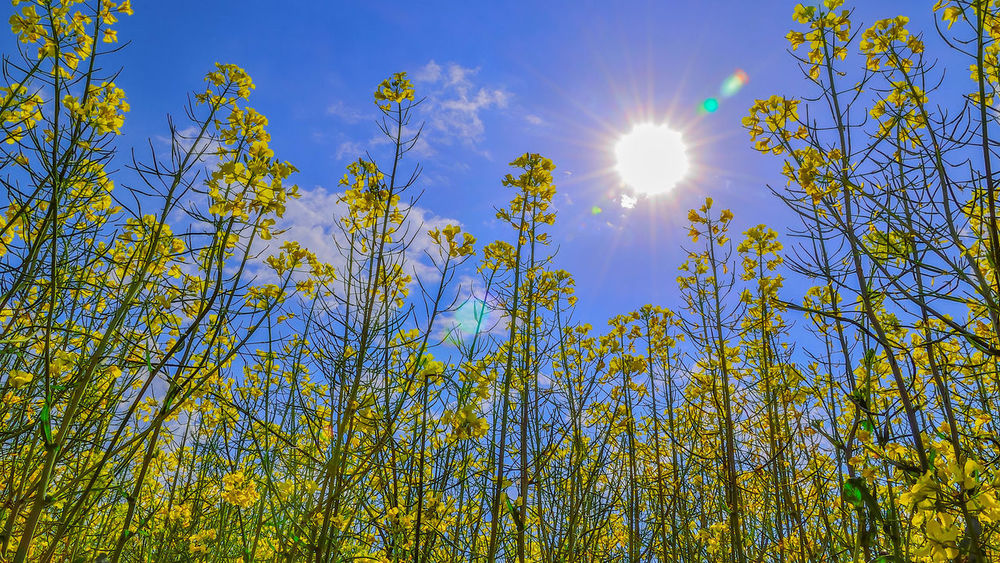 Agriculture Canola Crops  Canola Field Canola Flower Farm Field Grass Landscape Lush Foliage Sky And Clouds Springtime Yellow