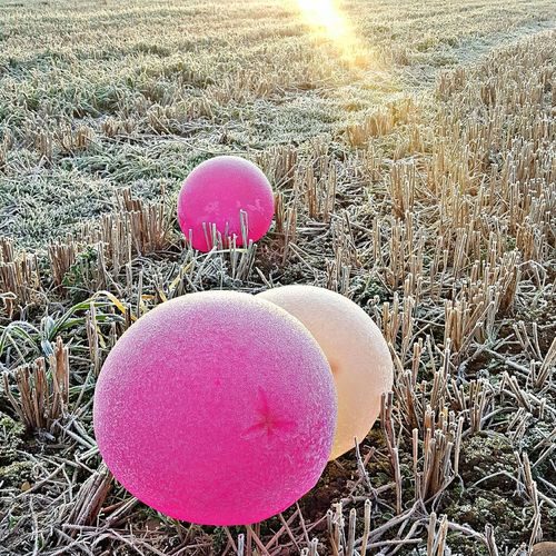 Balloons in a crop field Outdoors Pink Color Pink Balloons Pink Ballons In Harvested Field Icey Ballons Winter Ice Icy Balloons In A Field Morning Sunrise Sunlight No People Day Close-up
