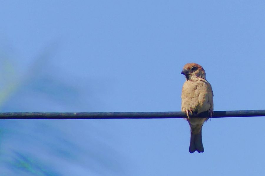 Sparrow on Cable Animal Themes Animal Wildlife Animals In The Wild Bird Blue Cable Clear Sky Close-up Day Low Angle View Mammal Nature No People One Animal Outdoors Perching Sky Sparrow Sparrow On Cable นก นกกระจอก นกบนสายเคเบิล Live For The Story
