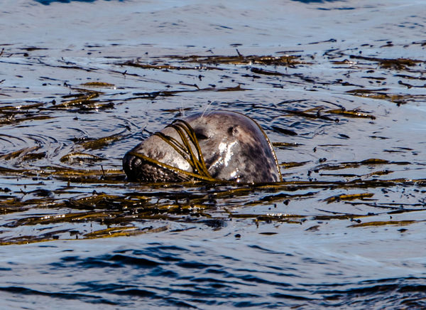 Camouflage Bretagne Brittany Animal Themes Animal Wildlife Animals In The Wild Close-up Day Mammal Nature No People One Animal Outdoors Seal Swimming Water Waterfront