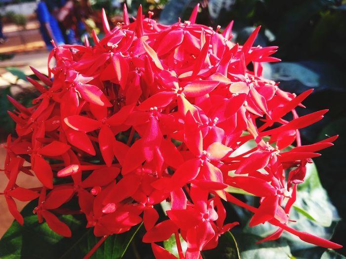 flower #EyeEm Flower Red Flower Head Leaf Close-up Plant In Bloom Blossom Blooming