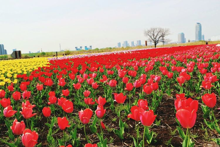 Flower Plant Scenery Enjoying Life Eyem Flower_collection Tulips🌷 Taking Photos Check This Out