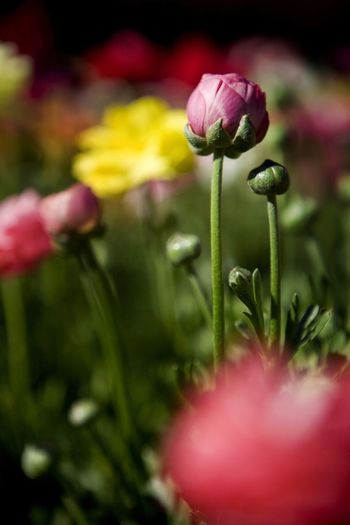 Tulips flourish during springs in Victoria, Australia Tulips Beauty In Nature Blooming Flower Flower Head Freshness Nature Petal Spring