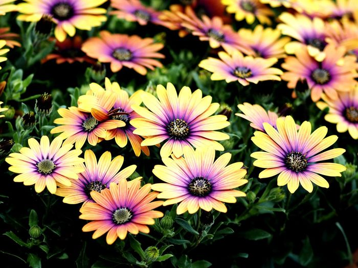 Spring Flowers Flowers In Bloom Season Selective Focus Nature Bunch Of Flowers Vibrant Color Plant Natural Beauty Natural Pattern Petal Blooming Flowers Colorful Lovely Flower Osteospermum Petal Purple Close-up Plant Blooming In Bloom