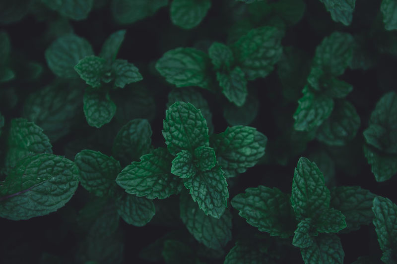 Green leaves pattern background. Green peppermint leaves background. Flat lay. Nature dark green tone background, Peppermint Green Leaf Dark Mint Tone Plant Background Fresh Nature Food Thai Foliage Closeup Healthy Natural Garden Organic Herb Herbal Isolated Detail Freshness Flora Ingredient Spearmint Menthol  Texture Design Object Space Macro Life Close Field Copy Tropical Medicine Shot Sunset Raw Kitchen Ornamental Leaves Aroma Spice Flavor Smell Plain Green Color