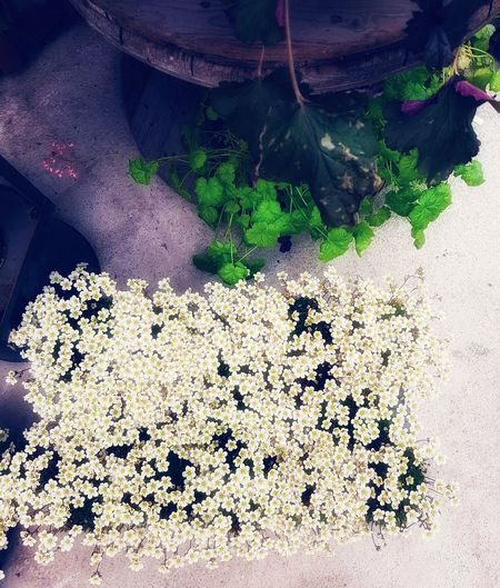 Decorative Plants Decorative Flowers White Flowers High Angle View Close-up Textured  Detail Blooming Young Plant LINE Flower Head In Bloom Pollen Blossom Botany