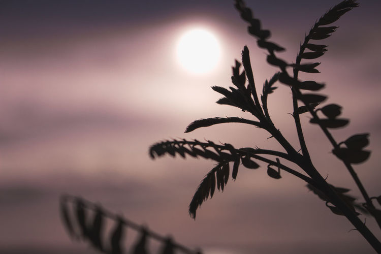 Close-up of silhouette plant against sunset sky