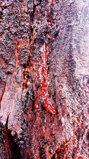 Healing Tree Sap Burnt Burnt Tree Lions Park Death Tree Looks Like... hot sauce or the bloody tree of death from sleepy hollow