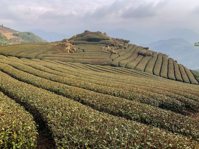 Ali Mountain ShotOnIphone Green Scenery Landscape Tea Plantation  Taiwan Panorama Sky Cloud - Sky Nature Day Landscape Beauty In Nature No People Tranquil Scene Outdoors Tranquility Pattern Non-urban Scene Travel Environment Scenics - Nature Mountain Sunlight Land Low Angle View