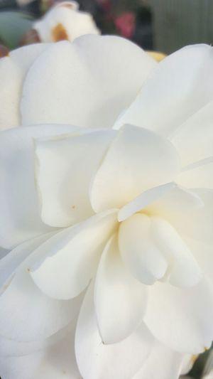 Flowers White Gül Koku Beyaz Gül Rose - Flower White Flower Whiterose Macro Photography Macro Beauty Showcase: February