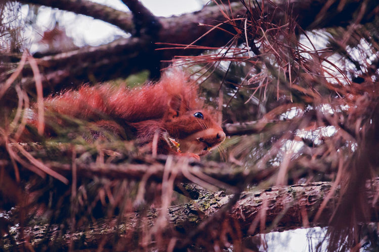 Low angle view of red squirrel on tree