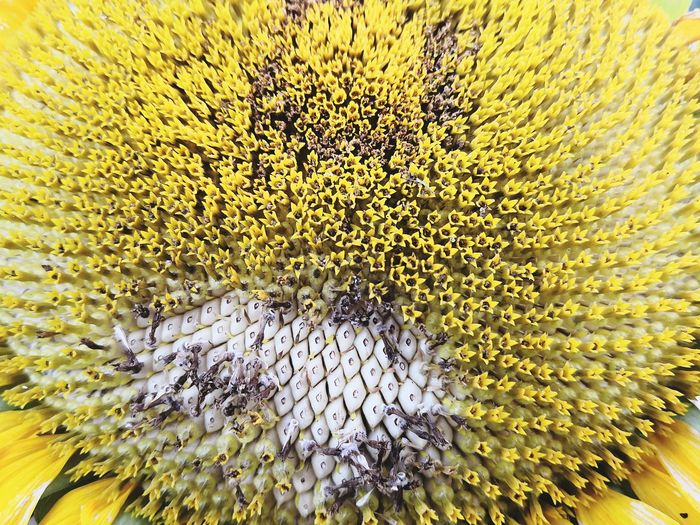 Decaying Seeds Seed Seed Photography Decaying Flower Flower Head Yellow Backgrounds Full Frame Textured  Close-up Sunflower Yellow Color Fragility Plant Life
