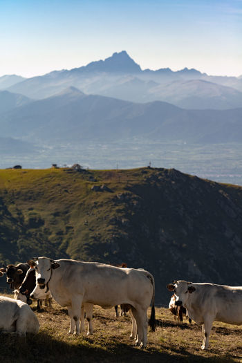 Cows on field by mountains against sky
